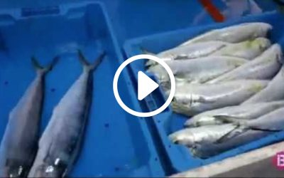 dolphin fish video